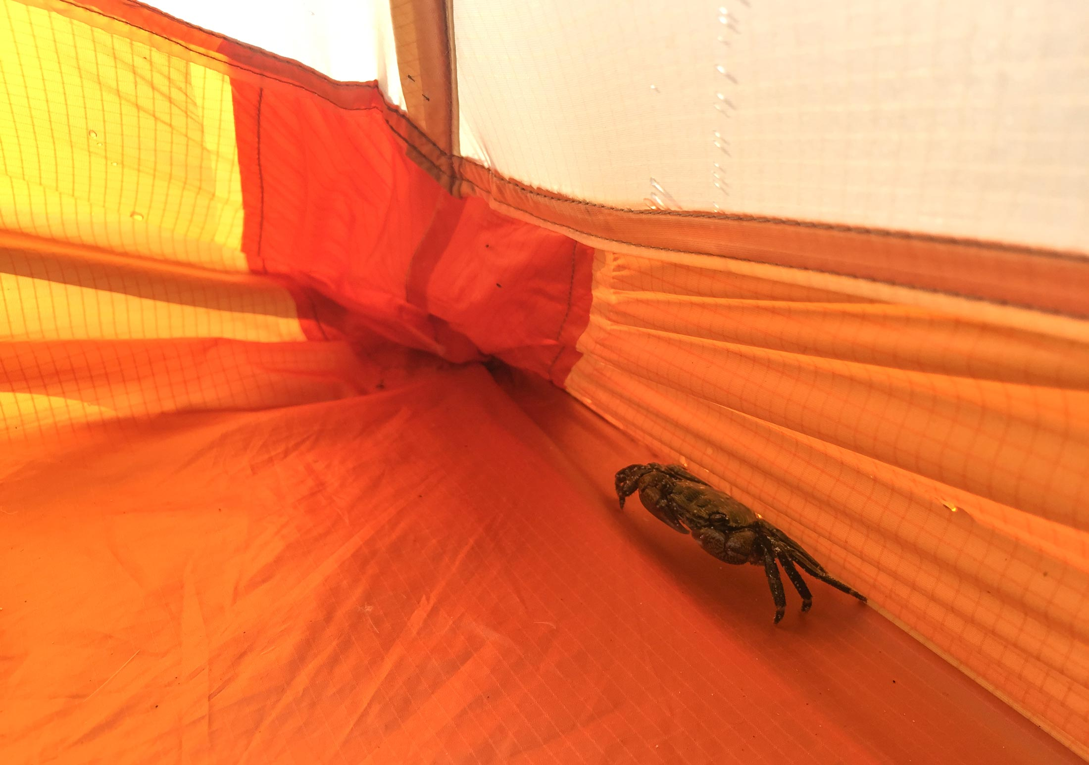 A small crab snuck in to backpacking tent
